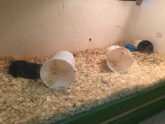 Kingwood, Batı Virjinya: Guinea pig tank was dirty and full of flies