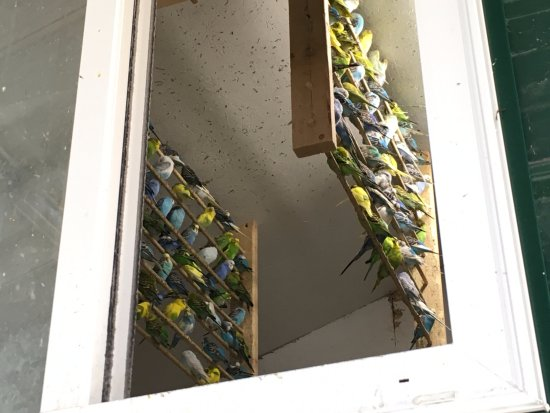 Kingwood, Batı Virjinya: small building full of cockatiels