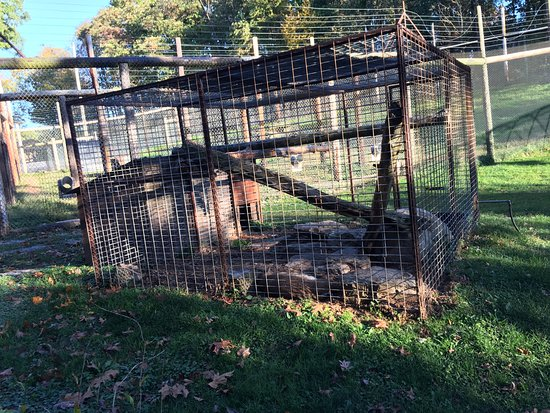 Kingwood, WV: bobcat is kept alone in a tiny cage