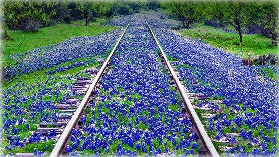 Bluebonnet wildflowers near Llano, Texas
