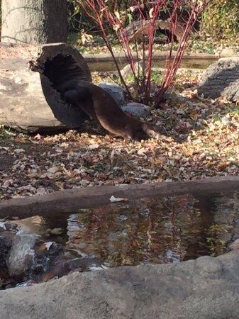 Royal Oak, MI: River otters - very active