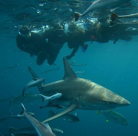 Shark Cage Diving KZN: IMG-20171114-WA0019_large.jpg
