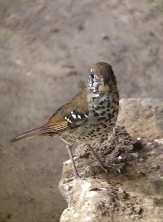 Sisira's River Lounge: Spot-winged Thrush at the hotel dining area