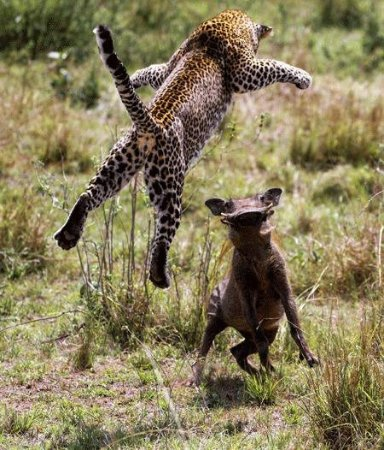 Lake Manyara National Park, Tanzânia: leopard
