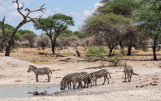 Lake Manyara National Park, Tanzânia: zebraa