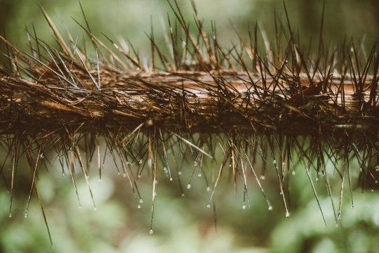 Quepos, Costa Rica: defense mechanism of a tree in manuel antonio