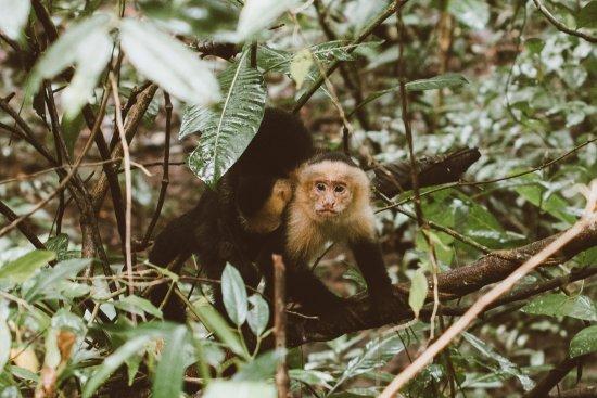 Quepos, Costa Rica: white faced monkey (capuchin)