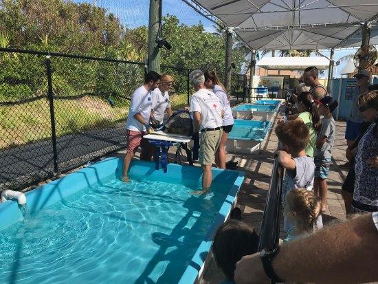 Juno Beach, FL: Leatherback being placed into pool after surgery