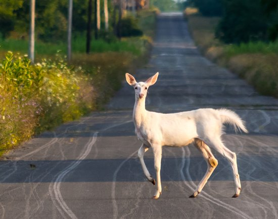 Romulus, NY: One of the world's largest herd of white, white-tailed deer, seen only on the White Deer Tours.
