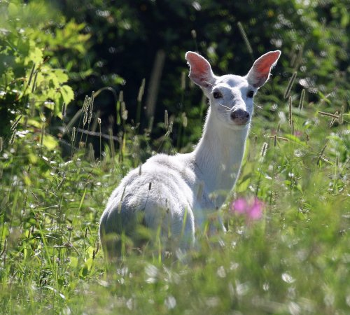 Romulus, NY: A graceful white doe pauses her browsing as a White Deer Tour bus passes.