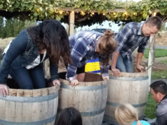 Quincy, Waszyngton: Grape Stomping is always a blast at our annual Grape Stomping Harvest Extravaganza