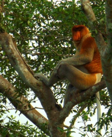 Kota Kinabalu District, Malaisie : Nasalis larvatus - Male Proboscis Monkey ( Kota Belud River Cruise )