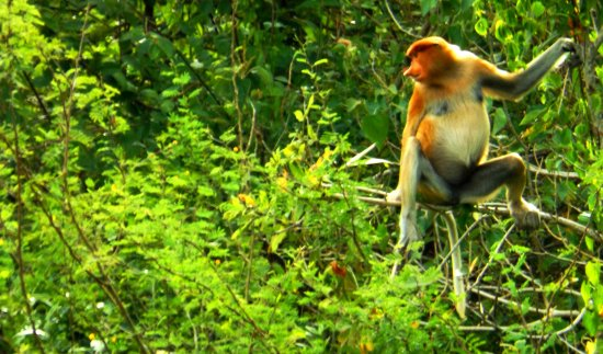 Kota Kinabalu District, Malaisie : Female Proboscis Monkey at Tamau Kota Belud River cruise