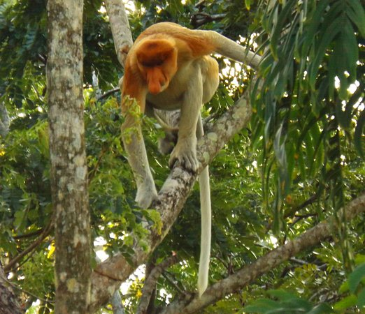 Kota Kinabalu District, Malásia: Male Proboscis Monkey - Endemic Monkey to Borneo island
