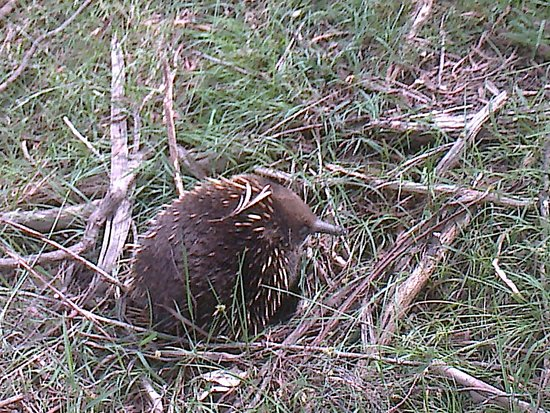 Poatina, Australie : A delightful Echidna - viewed for at least 15 mintues as it strolled along, looking to dine on a
