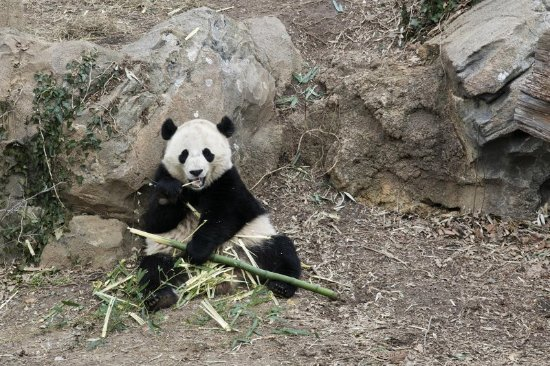 Homewood Suites Silver Spring: Giant Panda at the Zoo