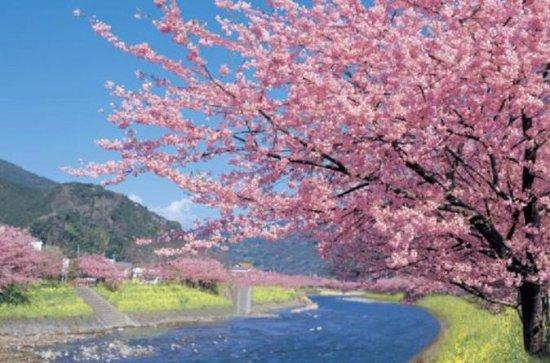 Kawazu-zakura Cherry Blossom Festival...