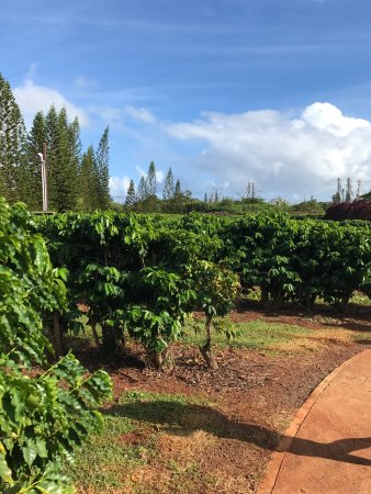 Kauai Coffee Company: photo4.jpg