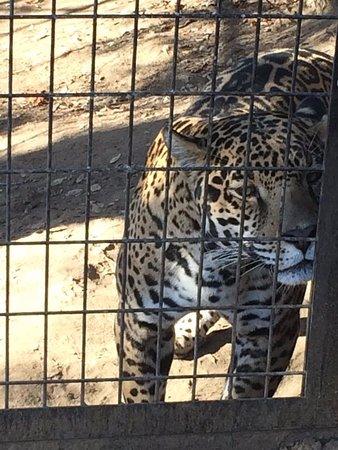 Dunlap, Kalifornia: Jaguar