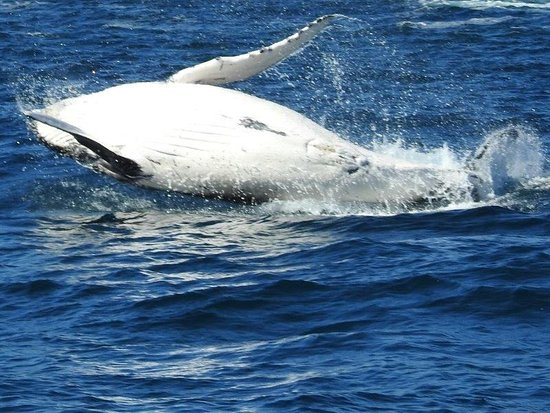 Eden, Australia: Full length of the whale out of the water