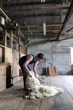 Wairarapa, Nuova Zelanda: Manager Kurt provides a shearing demo on our Farm Experience or Woolshed Experience