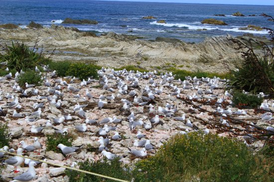 Kaikoura Peninsula Walkway: Nesting birds