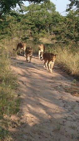 Kapama River Lodge: Gruppo di leonesse...guardate lo sguardo di quella in testa al gruppo