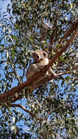 French Island, Australia: Koala