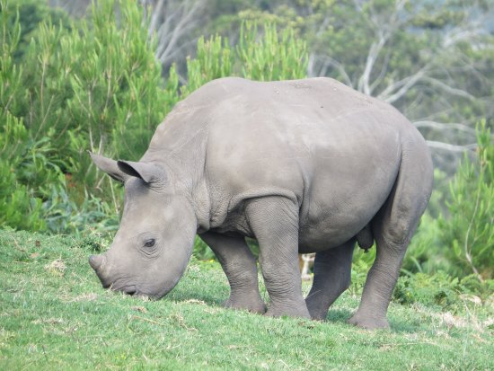 Port Elizabeth, Sudáfrica: White Rhino Calf
