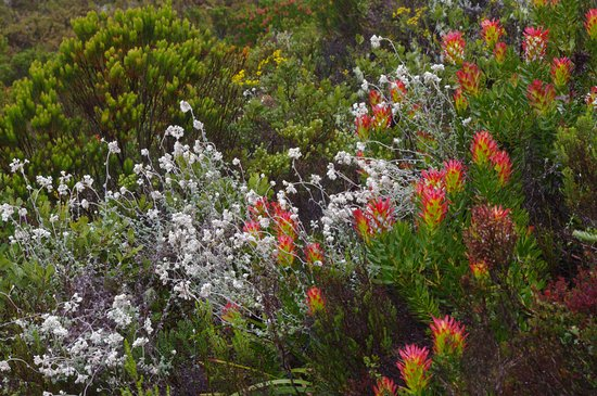 Overberg District, South Africa: Fynbos in bloom on the Fynbos Trail