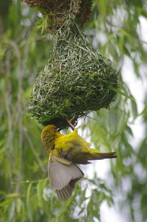 Overberg District, Sydafrika: Weaver birds on the Fynbos Trail