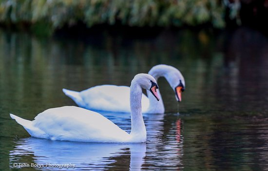 Saggart, İrlanda: Swans on the pond of the CityWest Golf Course.