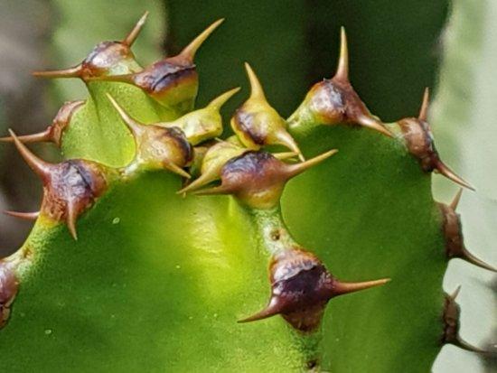 Güímar, España: Cactus lookin' fierce
