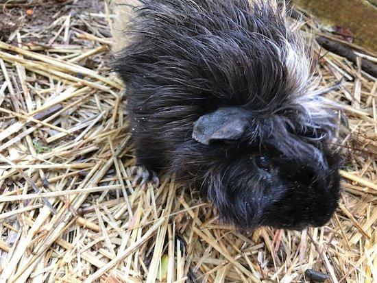 Haicai, Havaí: We fed the sweet guinea pigs