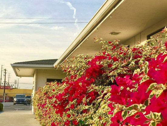 Baldwin Park, CA: Healthy Bouganvilla