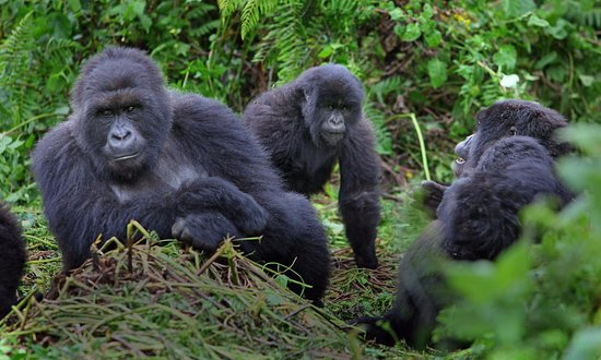 Gorilla Adventure Tours