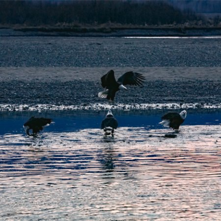 Haines is home to over 300 resident eagles and hosts over 3000 annually at the Alaska Bald Eagle