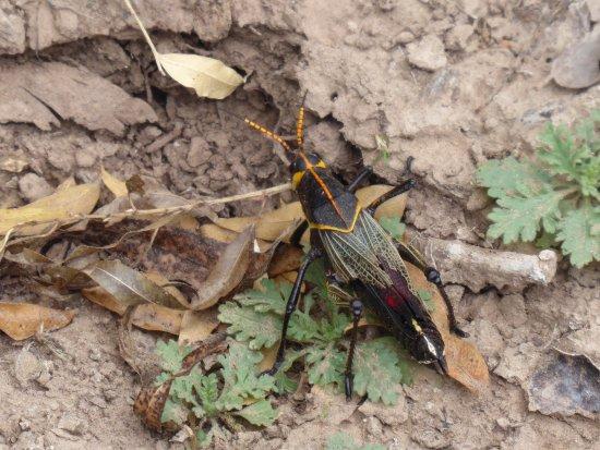 Patagonia, AZ: Western Horse Lubber Grasshopper