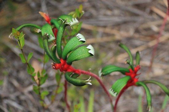 Stokes Bay Bush Garden: Kangaroo Paw