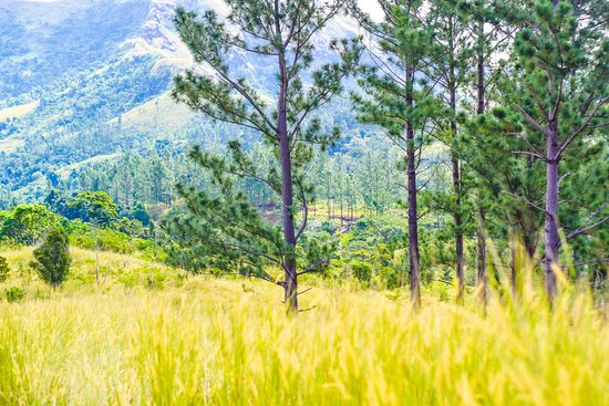 Koroyanitu National Heritage Park: Beautiful nature - Pine trees