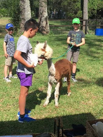 Mountview alpaca farm canungra all you need to know for Alpacas view farm cuisine
