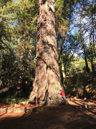 Glen Oaks Big Sur: Grandma Pfeiffer tree.
