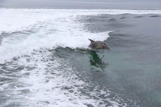 Kingscote, Australia: Dolphin