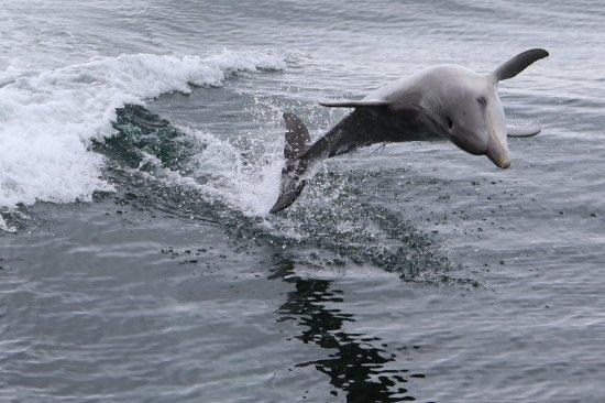 Kingscote, Αυστραλία: Dolphin