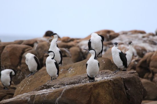 Kingscote, Αυστραλία: Cormorants