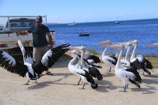 Kingscote, Αυστραλία: Andrew feeding the pelicans