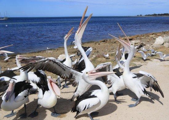 Kingscote, Australia: Hungry pelicans