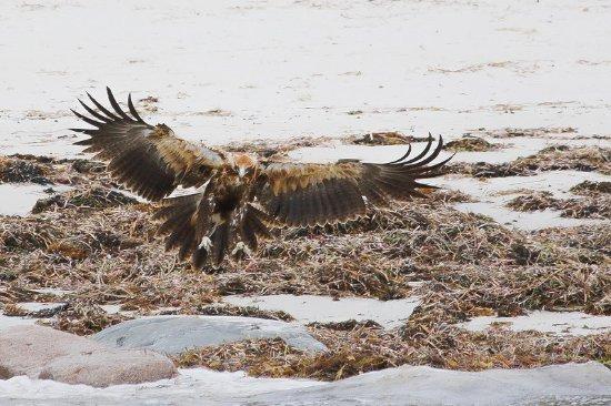 Kingscote, Australia: Eagle on the beach