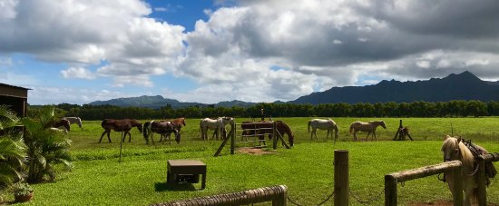 Princeville Ranch: Eileen (sp?) the proprietor let all the horses out to mend about