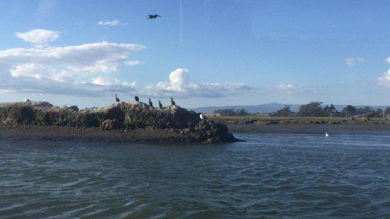 Moss Landing, CA: Pelagic cormorants on Elkorn Slough